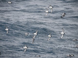 Cape Petrels Flying in the Drakes Passage, Argentina, South America Photographie par Robert Harding
