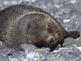 Fur Seal at Brown Bluff, Antarctic Peninsula, Antarctica, Polar Regions Photographic Print by Robert Harding
