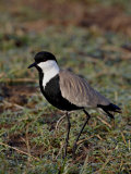 Spur-Winged Plover, Masai Mara National Reserve Photographic Print by James Hager