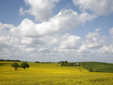 Rape Fields, Jutland, Denmark, Scandinavia, Europe Photographic Print by Yadid Levy
