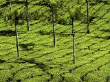 Tea Plantations, Devikulam, Near Munnar, India, Asia Fotodruck von Balan Madhavan