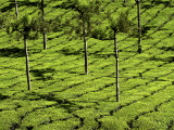 Tea Plantations, Devikulam, Near Munnar, India, Asia Photographic Print by Balan Madhavan
