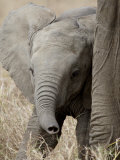 Baby African Elephant, Masai Mara National Reserve Photographic Print by James Hager