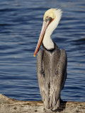 American White Pelican, Sonny Bono Salton Sea National Wildlife Refuge Photographic Print by James Hager