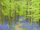 Spring Bluebells in Beech Woodland, Dockey Woods, Buckinghamshire Photographic Print by John Woodworth