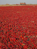 Red Chillies Laid Out to Dry in the Sun and Lorries Waiting to Be Loaded, Tonk District Photographie par Annie Owen