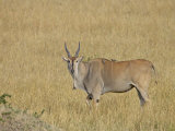 Common Eland with Red-Billed Oxpecker Photographic Print by James Hager