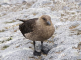 Brown Skua, Cuverville Island, Antarctic Peninsula, Antarctica, Polar Regions Photographic Print by Robert Harding