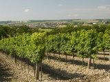 Vineyard Above Village of Schrattenberg, Niederosterreich, Austria, Europe Photographic Print by Richard Nebesky