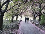 Spring Cherry Blossom, Brooklyn Botanical Garden, Brooklyn Photographic Print by Christian Kober