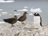 Brown Skua and Gentoo Penguin, Cuverville Island, Antarctic Peninsula, Antarctica, Polar Regions Photographic Print by Robert Harding