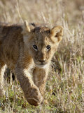 Lion Cub, Masai Mara National Reserve, Kenya, East Africa, Africa Photographic Print by James Hager