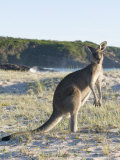 Eastern Grey Kangaroo on Beach at Sunrise, Ben Boyd National Park Photographic Print by Richard Nebesky