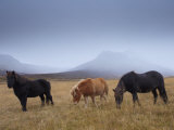 Icelandic Horses and Snow-Capped Mountains Near Neskaupstadur in Nordjfordur Fjord Photographic Print by Patrick Dieudonne