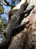 Goanna Lizard, around 2M Long, Up a Tree, Ben Boyd National Park Photographic Print by Richard Nebesky