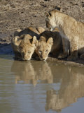 Three Lion Cubs Drinking, Masai Mara National Reserve, Kenya, East Africa, Africa Photographic Print by James Hager