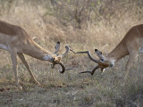Two Male Impala Sparring, Kruger National Park, South Africa, Africa Photographic Print by James Hager