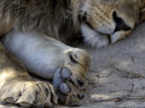 Close-Up of Lion's Paw, Kgalagadi Transfrontier Park, South Africa, Africa Photographic Print by Peter Groenendijk