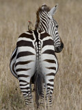 Red-Billed Oxpecker on a Grants Zebra Photographic Print by James Hager