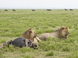Two Lion at a Blue Wildebeest Kill, Serengeti National Park, Tanzania Photographic Print by James Hager