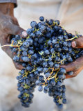 Harvest Worker Holding Malbec Wine Grapes, Mendoza, Argentina, South America Photographic Print by Yadid Levy