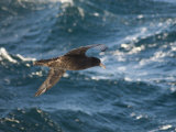 Giant Petrel Near Falkland Islands, South America Photographic Print by Robert Harding