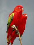 Two Chattering Lory in Captivity, Rio Grande Zoo Photographic Print by James Hager