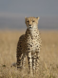 Cheetah, Masai Mara National Reserve, Kenya, East Africa, Africa Photographic Print by James Hager
