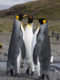 King Penguins, St. Andrews Bay, South Georgia, South Atlantic Photographic Print by Robert Harding