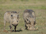 Two Warthog, Addo Elephant National Park, South Africa, Africa Photographic Print by James Hager