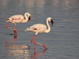 Two Lesser Flamingo, Lake Nakuru National Park, Kenya, East Africa, Africa Photographic Print by James Hager