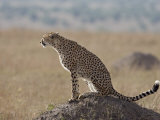 Cheetah Sitting on an Old Termite Mound, Masai Mara National Reserve Photographic Print by James Hager