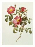 Rosa Gallica Pumila, from Les Roses, 1817-24 Giclee Print by Pierre-Joseph Redout&#233;
