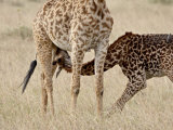 Baby Masai Giraffe Nursing, Masai Mara National Reserve Photographic Print by James Hager