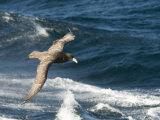 Giant Petrel, Near Falkland Islands, South Atlantic, South America Photographie par Robert Harding