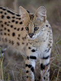 Serval, Masai Mara National Reserve, Kenya, East Africa, Africa Photographic Print by James Hager