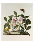 Helleborus Niger or Christmas Rose, Watercolour, 18th century Giclee Print by Georg Dionysius Ehret