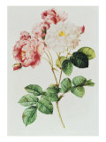 Rosa Damascena Celsiana or Damask Rose, Engraving from Les Roses, 1817-24 Giclee Print by Pierre-Joseph Redouté