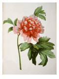 Paeonia Moutan or Peony, from Plantes Rares a Malmaison Giclee Print by Pierre-Joseph Redouté