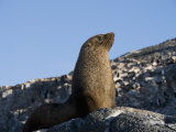 Fur Seal, Gourdin Island, Antarctic Peninsula, Antarctica, Polar Regions Photographic Print by Robert Harding