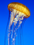 Sea Nettle Jellyfish, Monterey Aquarium Photographic Print by Michael DeFreitas