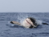 Great White Shark, Breaching, Seal Island, False Bay, Cape Town Fotografie-Druck von Ann & Steve Toon