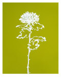 Chrysanthemum I Prints by Filippo Ioco