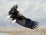 Bald Eagle on Approach, Farmington Bay, Utah Photographic Print by James Hager