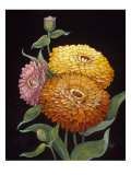 Midnight Bloom II Reproduction procédé giclée par Susan Jeschke