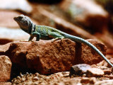 Close-Up of Greenish-Colored Lizard, Sedona, Arizona, USA Photographic Print by Margaret L. Jackson