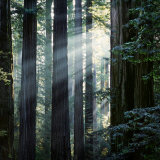 Sunbeams Coming Through Trees in a Redwood Forest Lmina fotogrfica por Diane Miller