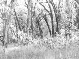 Oak Trees, Santa Rosa, California Photographic Print by Diane Miller
