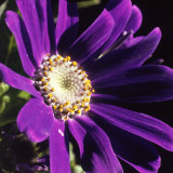 Cineraria, Senecio Hybridus, Oregon Photographic Print by Reynolds Trish