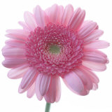 Still Life Photograph, Frontal Shot of a Pink Gerbera, Square Format Image Photographic Print by Abdul Kadir Audah